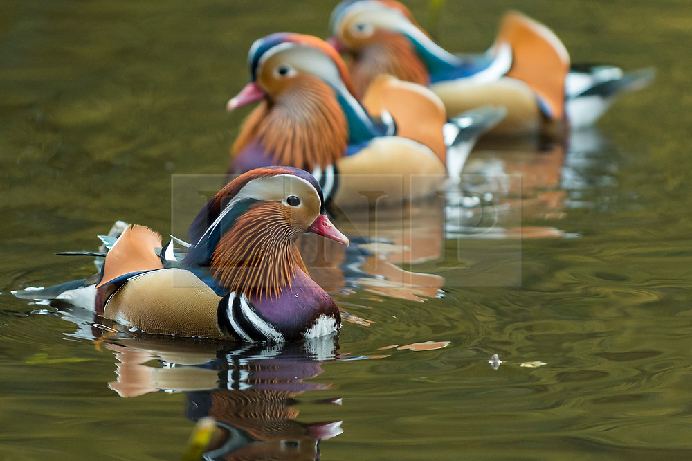 © Licensed to London News Pictures. 06/11/2019. BURNHAM, UK. Mandarin ducks on one of the ponds in Burnham Beeches in Buckinghamshire.  The 220 hectare historic woodland is a National Nature Reserve and European Special Are of Conservation, famous for its ancient pollards, many of which are several hundred years old.  Now owned by the City of London, it has been preserved as a public open space popular with nature lovers and dog-walkers alike.  Photo credit: Stephen Chung/LNP
