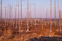 Russia, Sakhalin, Nogliki. Burnt out trees at the coast north of Nogliki.
