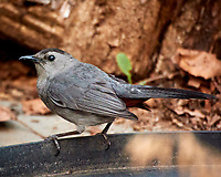 Gray Catbird. Image taken with a Nikon N1V3 camera and 70-300 mm VR lens