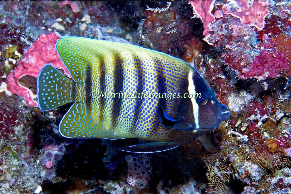 Six Banded Angelfish inhabit reefs. Picture taken Palau.