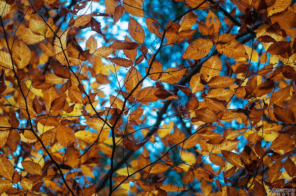Canopy of orange fall leaves (American Hornbeam, I believe)