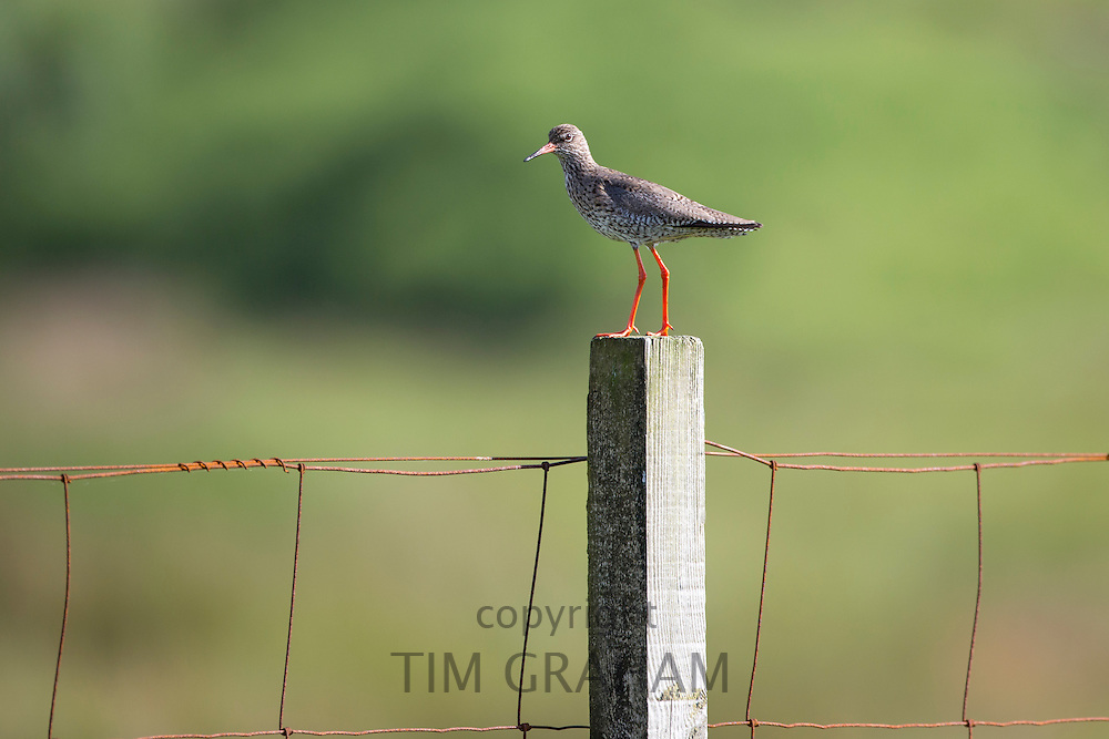 Redshank in breeding plumage, Tringa totanus, of sandpiper family of waders on the Isle of Mull in Inner Hebrides and Western Isles of Scotland