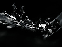Artistic nude abstract body parts closeup of a thorny Holly tree branch on a woman stomach, black and white