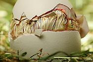 """Chicken, Gallus gallus domesticus, cracked egg shell, the top of the egg lies on the chick. The visible feathering is still wet. The chick inside the egg picks the shell in a circle around the egg, until the top flies off. A hen lays 250-300 eggs in a year, if the eggs taking away. Hens, which hatching chicks, laying considerably less. breeding time takes 21 days. Chicken are precocial animals. This picture is part of the series """"Escape into life""""..Haushuhn, Gallus gallus domesticus, die Eierschale ist rundherum aufgebrochen, der obere Teil sitzt als Deckel noch auf dem Küken. Das schon sichtbare Gefieder ist noch feucht. In einem Kreis, rund um das Ei wird die Schale von dem Küken von innen aufgehackt, bis der Deckel abspringt. Eine Henne legt im Jahr 250-300 Eier, wenn sie ihr weggenommen werden. Hennen, die ihre Küken ausbrüten können, legen erheblich weniger. Die Brutdauer beträgt 21 Tage. Hühner sind Nestflüchter. Diese Bild ist Teil der Serie ,,Ausbruch ins Leben"""". ."""