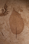 Fossil of a 33 million year old alder leaf (Alnus heterodanta). John Day Fossil Beds, Oregon.