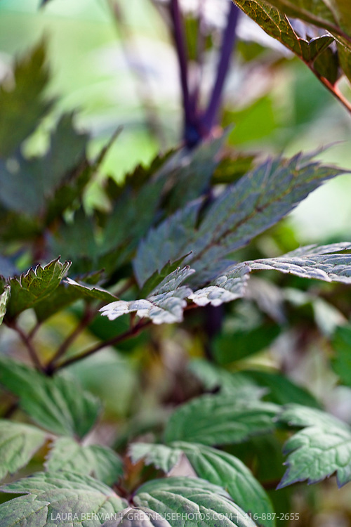 Purple-leaf Bugbane (Actaea racemosa 'Brunette')