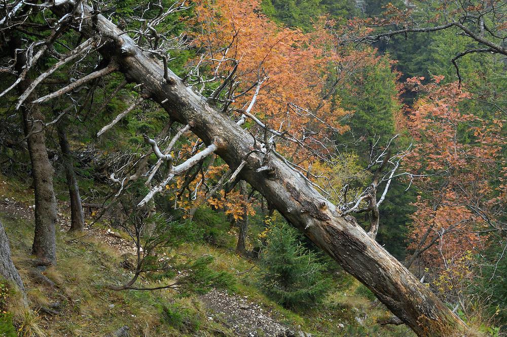 Dead spruce in Valea Crapaturii, National Park Piatra Craiului, Transylvania, Southern Carpathians, Romania