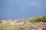 An adult Laysan Albatross Lands at Ka'ena Point.