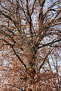 trunk and branches of a tree with brown leaves