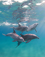 Bottlenose dolphins, the genus Tursiops, are the most common and well-known members of the family Delphinidae, the family of oceanic dolphins.