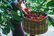 A farmer harvesting cherries from the orchards in the Indian Himalayas in the state of Himachal Pradesh