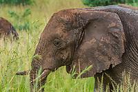 Elephants, Murchison Falls National Park, Uganda.