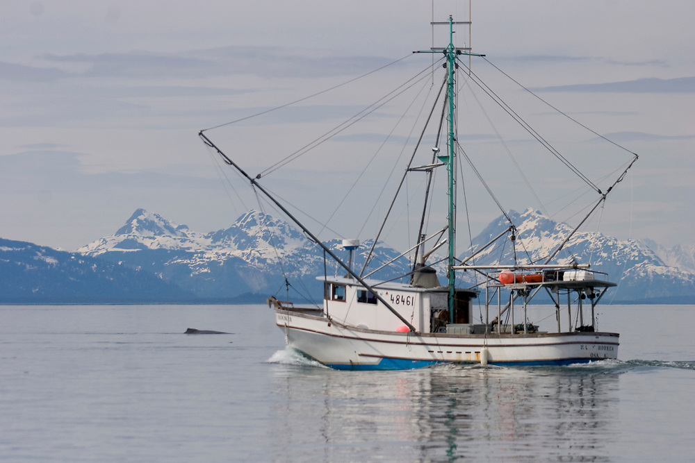 A humbpack whale (Megaptera novaeangliae) surfaces near a commercial fishing boat with the mountains of Glacier Bay National Park in the background.