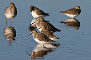 Dunlin photos