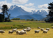 Sheep lick salt in fields of the Rees Valley near peaks of the Southern Alps, South Island, New Zealand. In 1990, UNESCO honored Te Wahipounamu - South West New Zealand as a World Heritage Area.