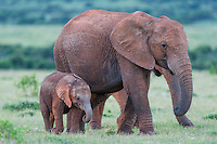 African elephant cow walking with her calf, Addo Elephant National Park, Eastern Cape, South Africa