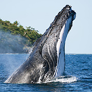 Humpback whale (Megaptera novaeangliae) breaching in a forward direction. Photographed in Vava'u, Kingdom of Tonga.