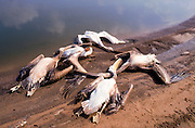 Pelicans killed by angry fish growers. Pelicans consume a large quantity of fish in the pools and are considered a threat and a pest by the fish growers. Photographed in Israel