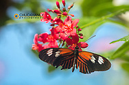 Heliconius Long Wing buttefly at the Butterfly and Nature Conservatory in Key West Florida, USA