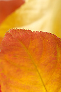 Leaves collected from Central Park, NY and photographed with a Macro lens to show the brilliant colors, paterns, and detail of each individual leaf.