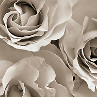 Botanical Still Life of three white roses