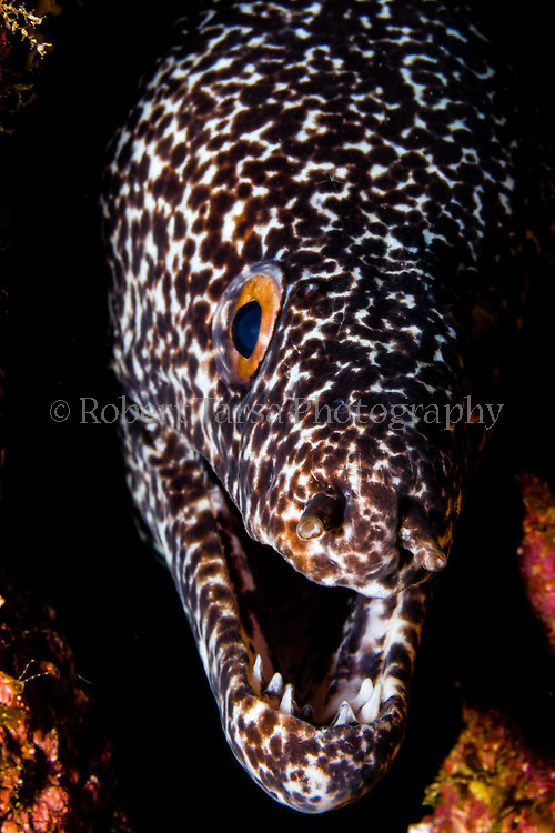 Spotted moray eel lingering amongst coral rock substrate.