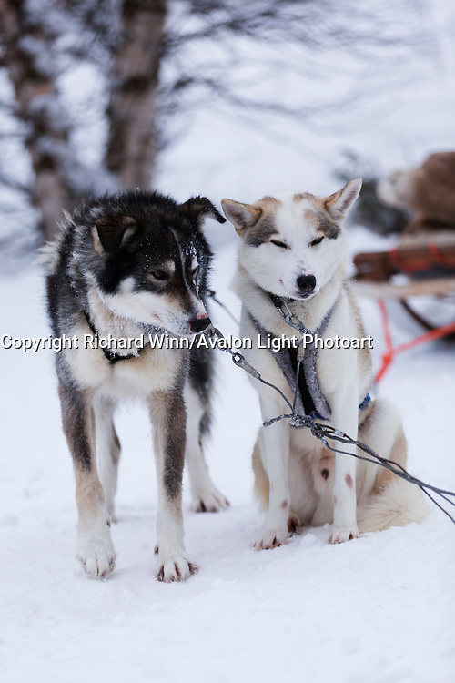 A pair of huskies in a sled pack, resting after pulling a sled during the morning.