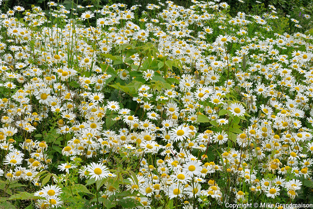 common or oxeye daisy (Leucanthemum vulgare or Chrysanthemum leucanthemum) flowers<br /> Grand Manan Island<br />