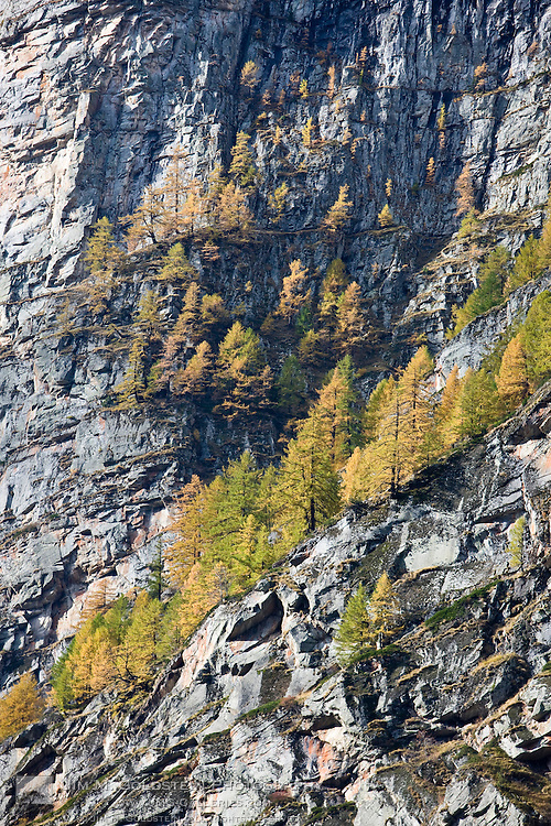 Fall color in the mountains of Switzerland emerge as Larch trees (Larix decidua) turn yellow.
