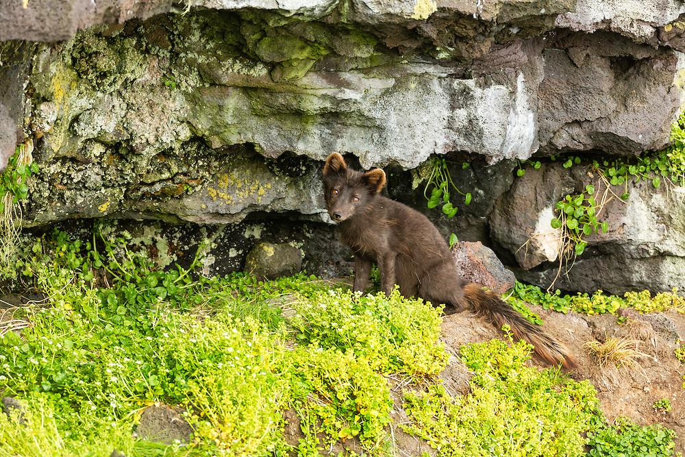 Arctic Fox (Alopex lagopus) hunting for birds among the bluffs on St. Paul Island in Southwest Alaska. Summer. Evening.
