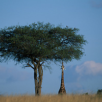 Kenya, Masai Mara Game Reserve, Giraffe (Giraffa camelopardalis) stretches neck to feed on tree leaves