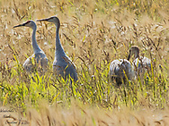 A Sandhill Crane family. Mom, Dad and the kids. All in a barley field grouping up for the annual migration south.