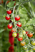 Tomatoes ripen on the vine. (Mike Siegel / The Seattle Times)