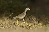 Wattled Lapwing - Vanellus senegallus
