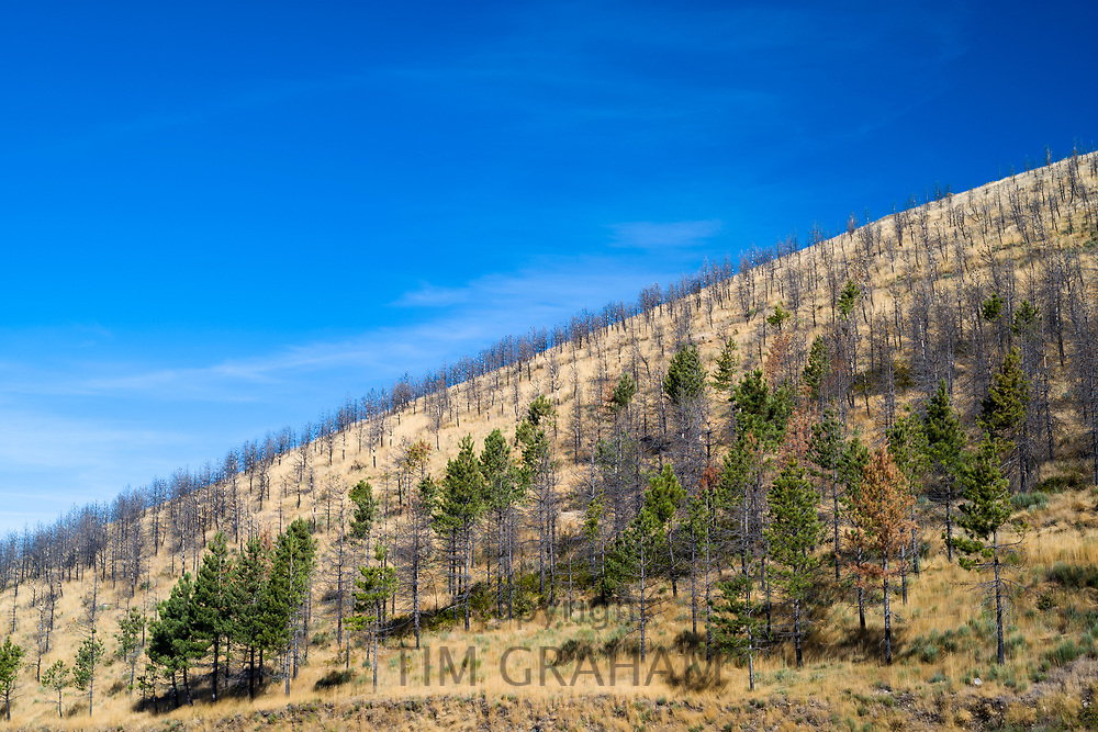 Serra da Estrela mountain range in the Natural Park. Conifers and fire damaged trees on mountain slope after the wildfire of 2017 in Portugal.