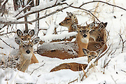 Group of whitetails bedded in snow