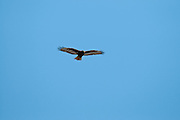 Red-tailed Hawk, Buteo jamaicensis, dark morph, Shiawassee River, Saginaw County, Michigan