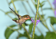 Tufted Coquette - Lophornis ornatus - female
