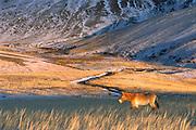 Przewalski's Horse (Equus ferus przewalskii) in winter coat walking in grassland, Khustain Nuruu Reserve, Mongolia