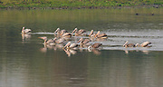 Group of spot-billed pelicans (Pelecanus phillippensis) feeding on a lake in Kaziranga NP, India.
