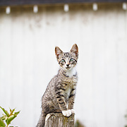 Gray tabby kitten seated on fencepost looking at camera