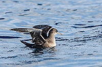 Sooty Shearwater floating on the ocean surface, Cape Canyon Trawl Grounds, South Africa
