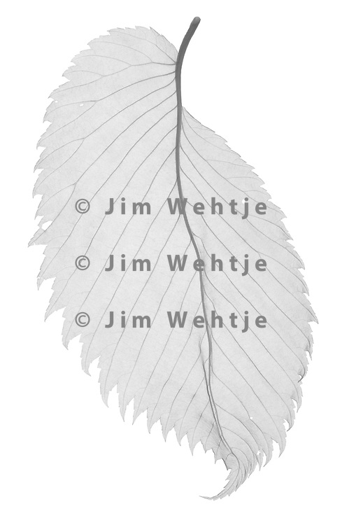 X-ray image of a dried American elm leaf (Ulmus americana, black on white) by Jim Wehtje, specialist in x-ray art and design images.