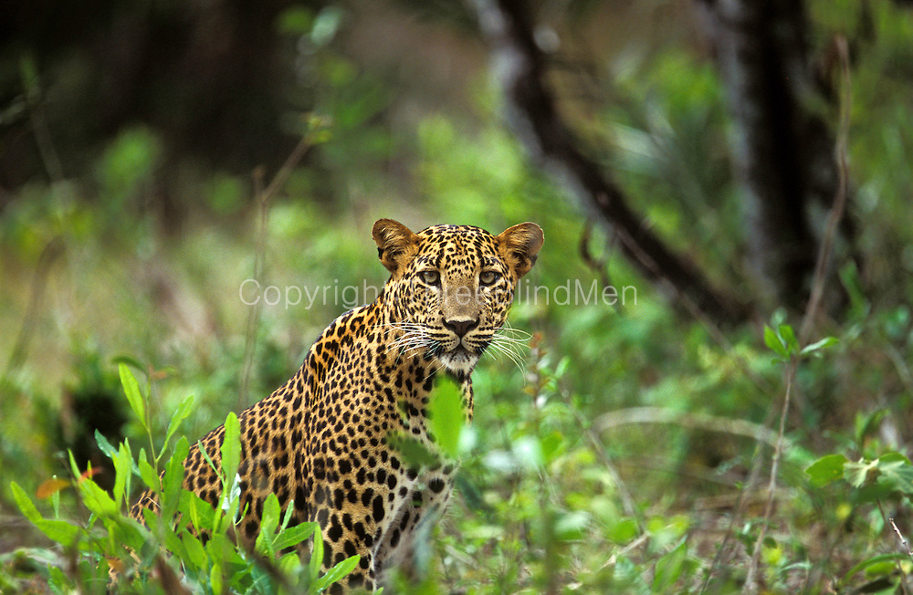 Sri Lankan Leopard. Yala National Park.<br /> The Sri Lanka leopard (Panthera pardus kotiya), colloquially known as Kotiya, is a subspecies of leopard native to Sri Lanka. However, &quot;kotiy?&quot; is now the colloquial Sinhala name for the tiger and &quot;diviy?&quot; is used for the leopard.