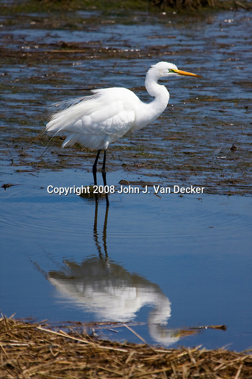 Great Egret, Ardea alba, standing in a salt marsh