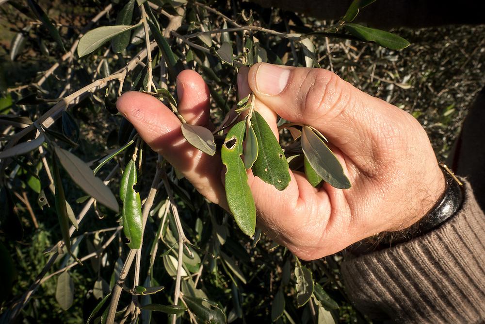 Italy- Italien - APULIEN; Das sog. Feuerbakterium, Xylella Fastidiosa, lässt viele OLivenbäume im Salento, nahe des Urlaubsortes Gallipoli erkranken. Noch ist völlig unklar wie es zur Verbreitung des Bakteriums gekommen ist. Vermutet wird auch ein Zusammenhang mit Bauspekulation und Mafia; The socalled XYLELLA bacterium is destroying olive trees in Salento/Puglia; leaves; Hier: erkrankte Olivenbäume trocknen aus, sterben ab - wurden von den Bauern beschnitten, um die Ausbreitung der Krankheit zu stoppen - Blätter mit typischen Krankheitssymptomen; Gallipoli, 07.01.2016; © Christian Jungeblodt
