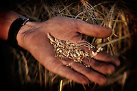 A farmer (Gordon Tomtene) holds the kernels from a wheat crop in his hand near the town of Birch Hills, Saskatchewan, Canada.