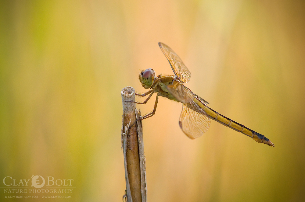 Golden-Winged Skimmer (Libellula auripennis) are beautiful, very territorial skimmers ,which often patrol the edges of lakes, marshes and other small bodies of water. They prefer to perch on high stalks.