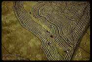 Aerial:combines weave dark lines in tapestry of rice fields and green dikes; Granja Bretanhas,RS Brazil