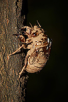 Cicada Exoskeleton Post Final Molt. Backyard Summer Nature in New Jersey. Image taken with a Nikon D3x and 105 mm f/2.8 VR macro + TC-E III teleconverter (ISO 100, 210 mm, f/22, 1/60 sec) and SB900 flash.